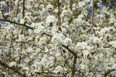 tree-branch-blossom-plant-white-fruit-1239645-pxhere.com